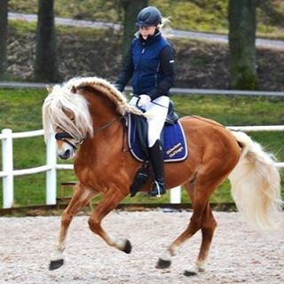 En haflingerstjrna frn Sweden International Horse Show kommer! Svenska Hstavelsfrbundethellip